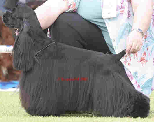 American cocker spaniel with long black flowing hair