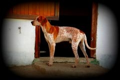 A red tick coonhound
