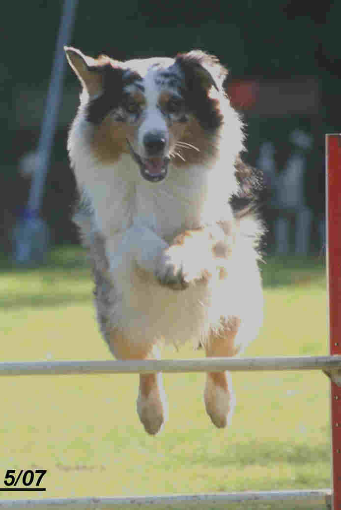 Australian shepherd clears a jump in the showring