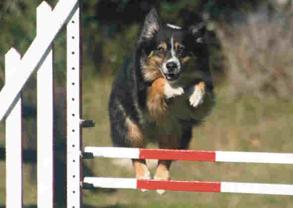 tricoloured Australian shepherd jumps double bar