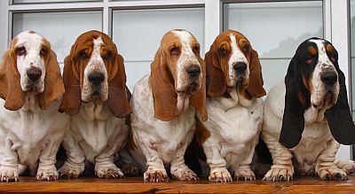 5 Basset hounds in a row