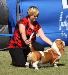 Basset hound in the show ring