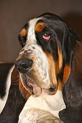 A basset hound with appealing eyes.