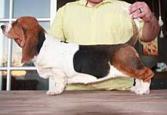 Basset hound with long body & short legs