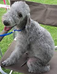 Bedlington terrier puppy sitting on a chair