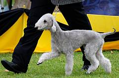Bedlington terrier strutting round the show ring