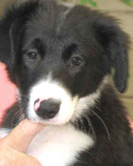 Black & white collie puppy