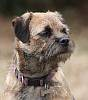 Headshot of Border terrier