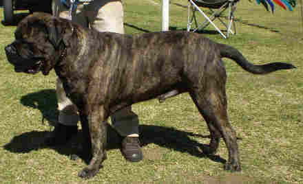 A Brindle bullmastiff is a good deterrent to poachers.