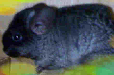 A black chinchilla with bluish tinges in coat