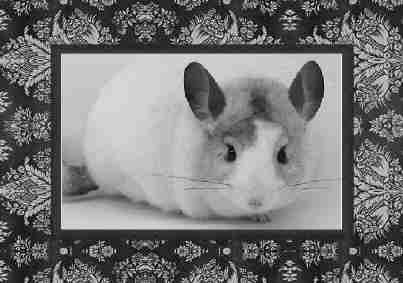 White mosaic chinchilla pic in fancy frame