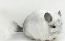 Black & white pic of chinchillas fluffy tail