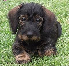 Sweet miniature wirehaired dachshund puppy