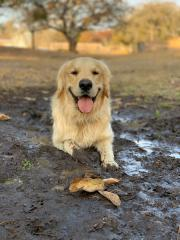 A golden retriever keeping cool lying in mud
