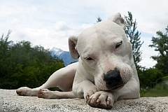 A dogo argentino licking his paws