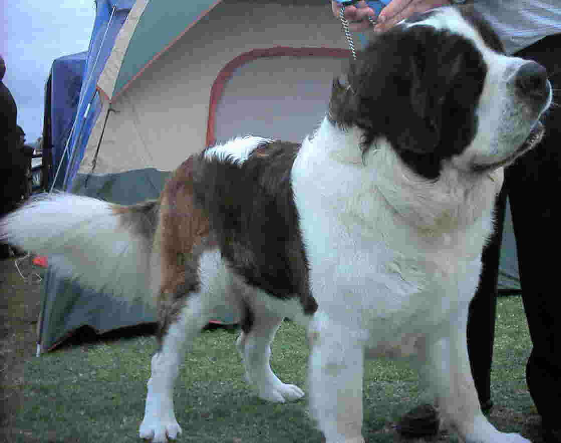 St Bernard, rough coated, showing long hair on tail & large head