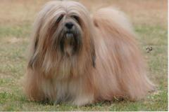 A well-groomed lhasa apso with long hair