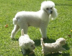 White toy poodle with puppies