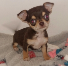 Cheeky little Chihuahua puppy, short coat