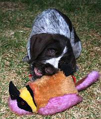 German wire haired pointer puppy playing with a toy bird