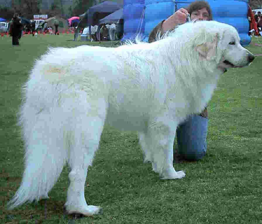 Great Pyrenees, or Pyrenean mountain dog, bushy white tail