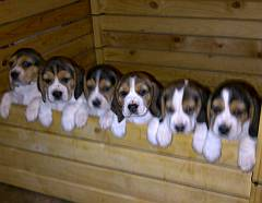 6 beagle puppies in a row