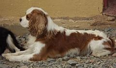 Tan and white cavalier spaniel