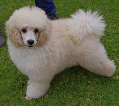 Fluffy miniature poodle puppy