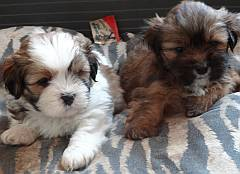 Two Lhasa Apso puppies on a blanket