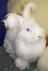 Rabbit with long hair and tassles on the ears