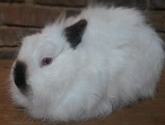 White Himalayan rabbit with black ears & nose