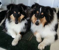 Two young rough collies