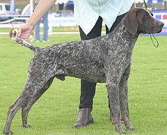German shorthaired pointer with mottled markings