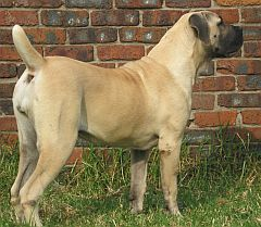 Fawn ysterberger mastiff with black muzzle