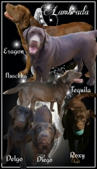 Collage of our chocolate Labradors