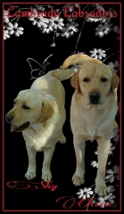 Two of our yellow Labradors
