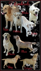 A collage of our yellow labradors