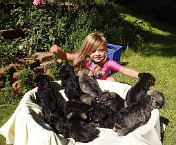 Girl playing with schnauzer puppies