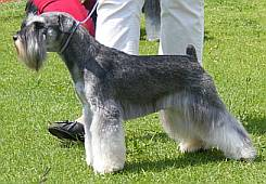 Beautifully groomed miniature schnauzer in the show ring