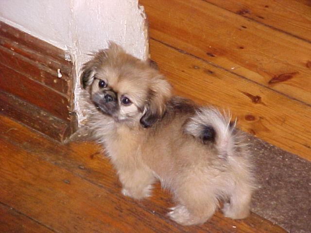 хочу очень щенка пекинеса.