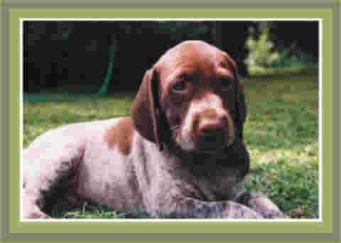 Pointer puppy with liver colouring