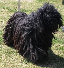 A black puli with tousled windblown hair over his face