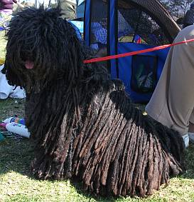 A puli with long cords of hair