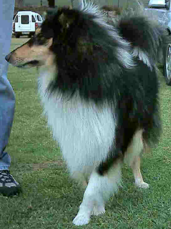 Rough collie. Narrow, pointed  face.