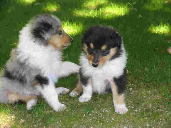 2 fluffy tricoloured rough collie puppies