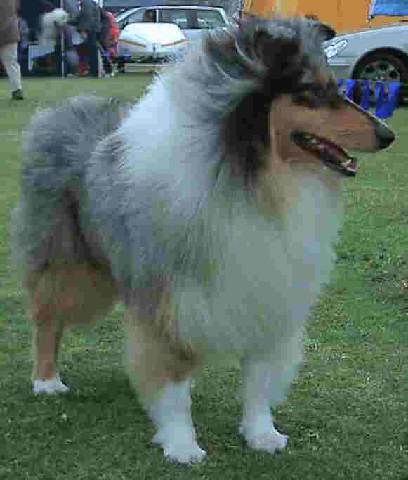 Wind ruffles the long hair of this rough collie,