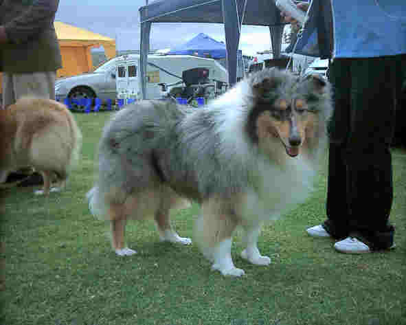 Rough collie, brown, white, grey