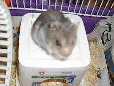 Russian dwarf hamster sitting on the roof of his house - a marg tub