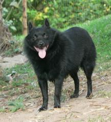 Schipperkes are thought to