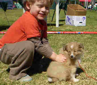 A Shetland sheepdog puppy gives untold pleasure to a child.